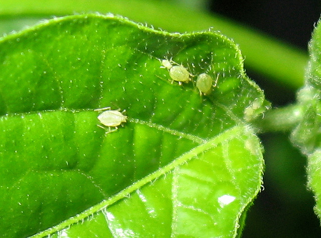 aphids on pepper plant